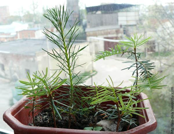Как вырастить пихты из семян - УРЦ Медведь