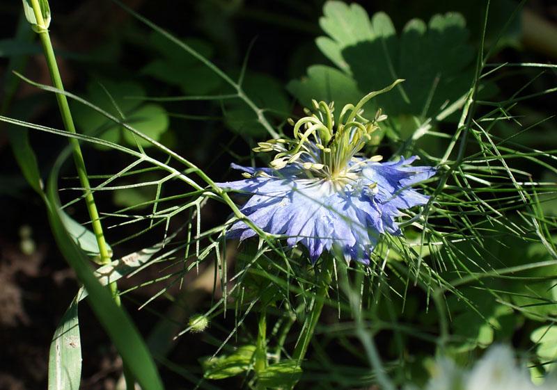 Как называются цветы похожие на васильки